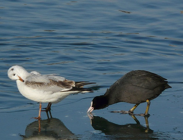 Coot Drink Food Pair Couple Seagull Ralle Black An