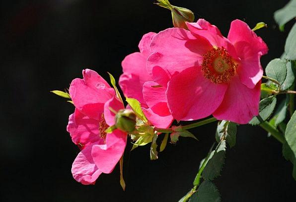 Rose Design Floret Pink Flushed Flower Fragrance C