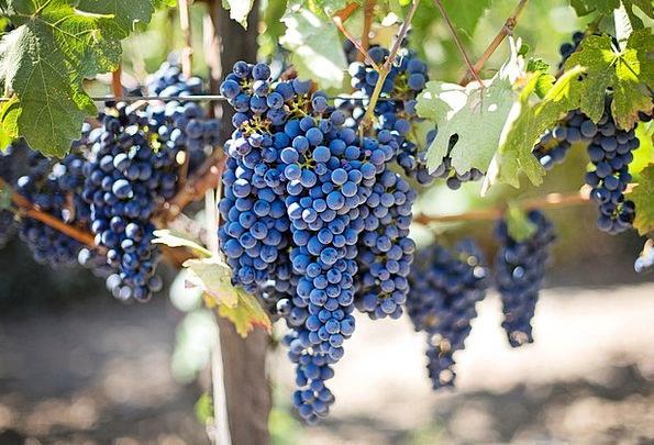 Purple Grapes Winery Napa Valley Vineyard Napa Vin