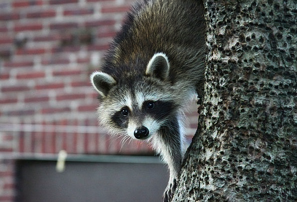Raccoon Physical Tree Sapling Animal Outdoors Wild