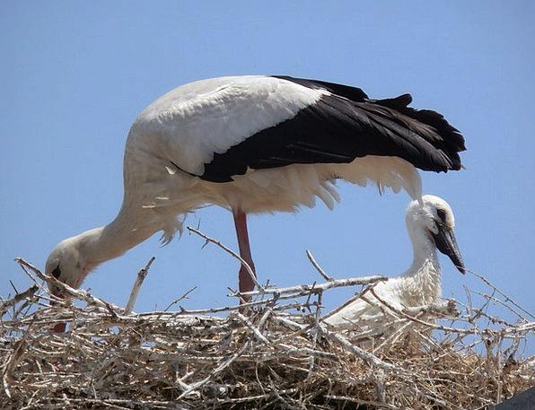 Storks Faunae Camargue Animals