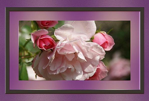 Frame Edge Outline Plan Picture Frame Rose Design