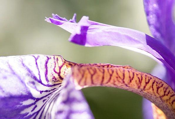 Iris Landscapes Nature Purple Iris Iris Pseudacoru