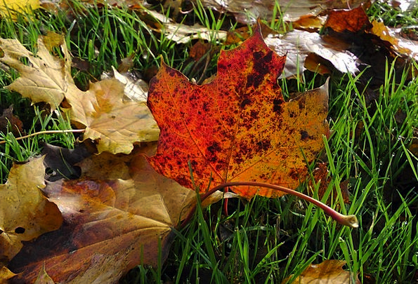 Maple Leaves Autumn Fall Maple Leaves Greeneries C