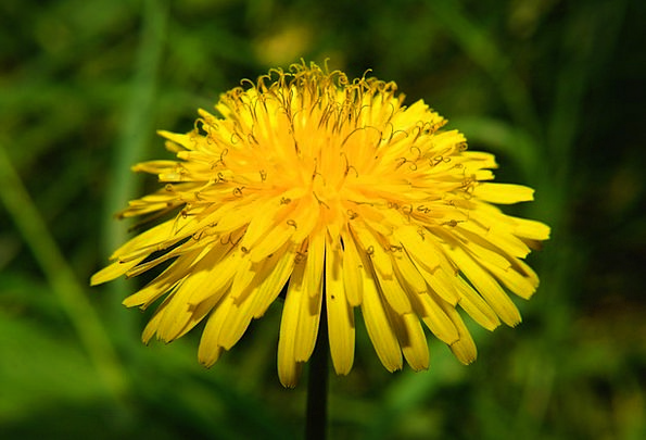Flower Floret Yellow Creamy Dandelion Bright Cheer