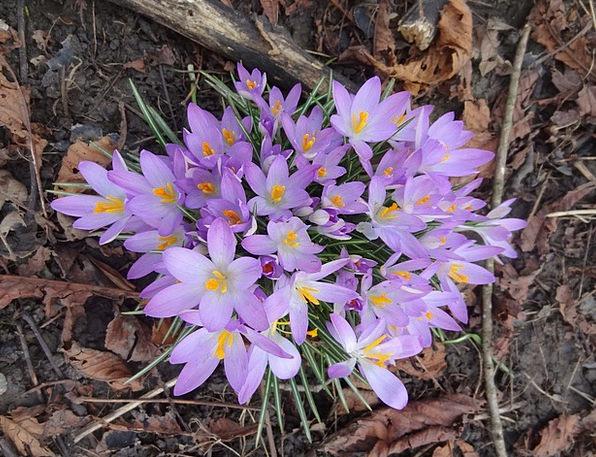 Crocuses Spring Coil Crocus Bloom Blooms Flowers P