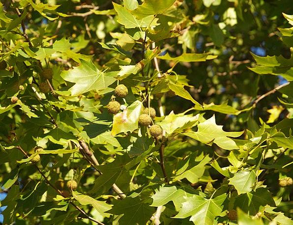 Textura Greenery Green Lime Foliage Platanus