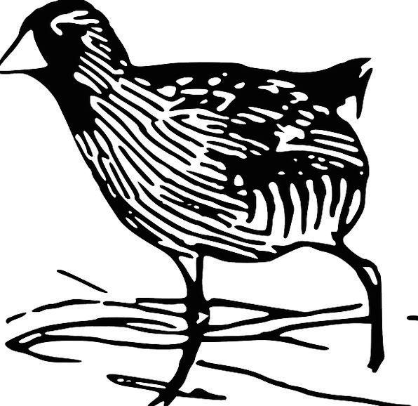 Bird Fowl Bar Species Class Rail Wetland Bog Free