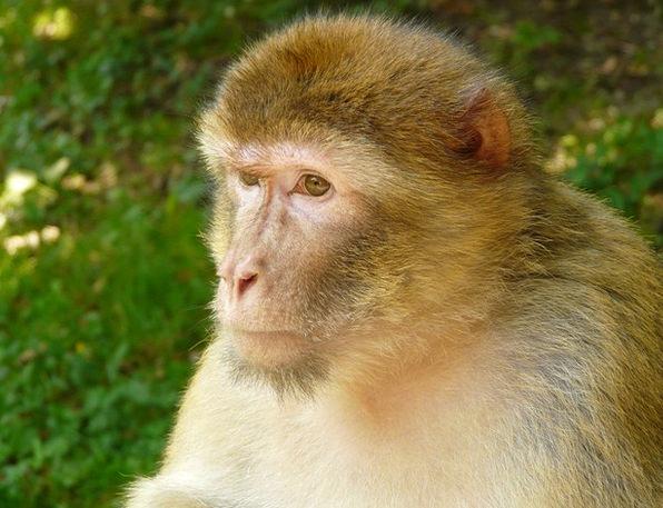 Monkey Mountain Ape Salem Monkey Barbary Ape Anima