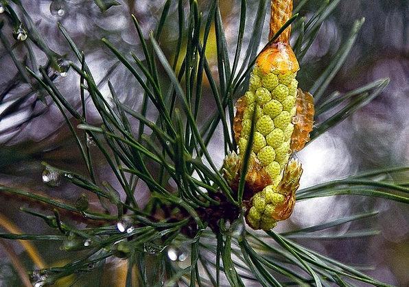 Pine Long Landscapes Nature Pine Needles Male Flow