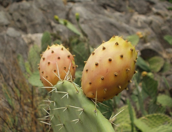 Sardinia Landscapes Nature Cactus Prickly Pear Pla