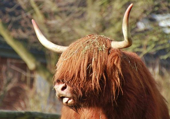 Scottish Hochlandrind Complaint Animal Physical Be