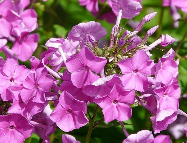Phlox Landscapes Nature Flower Floret Flame Flower