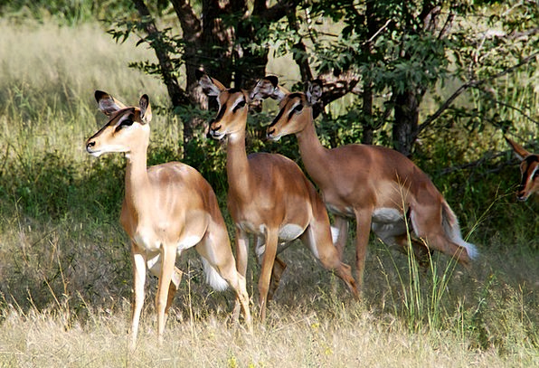Animals Faunae Landscapes Nature Africa Impala Eto