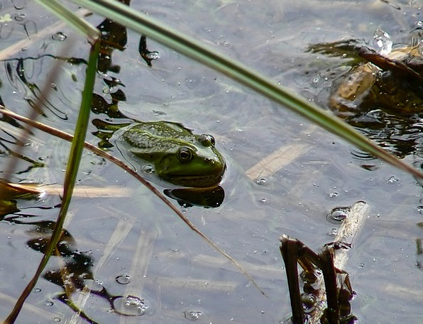 Lutry Freshwater The Frog Lake