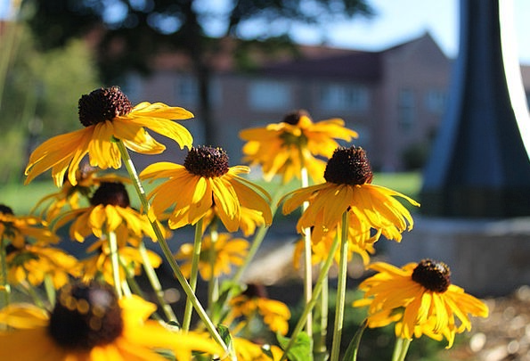 Black-Eyed Susan Floret Petals Flower Bloom Fall A