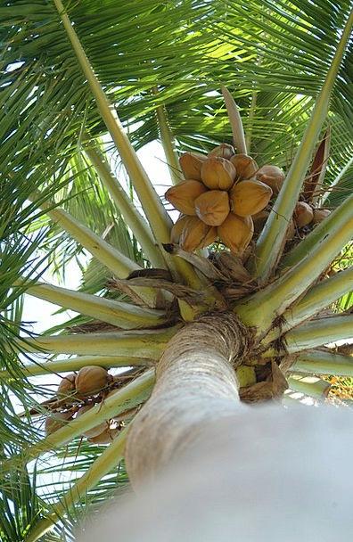 Coconut Maldives Palma