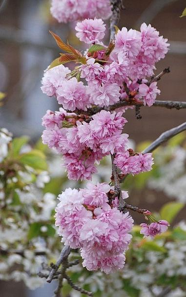 Cherry Blossom Flushed Spring Coil Pink Tree Sapli