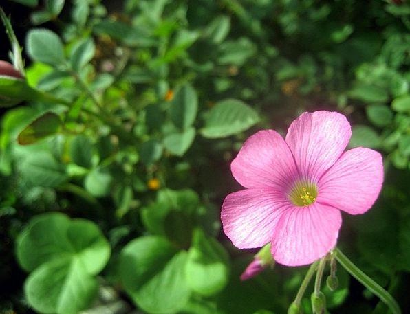 Pink Geranium Geranium Cranesbills Geraniaceae Pin