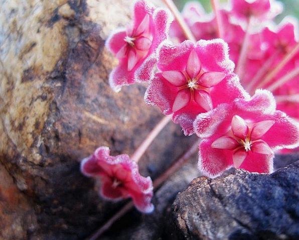 Flower Head Flower Flowerets Pink Flushed Florets