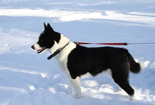 Dog Canine Animal Physical Karelian Bear Dog Winte