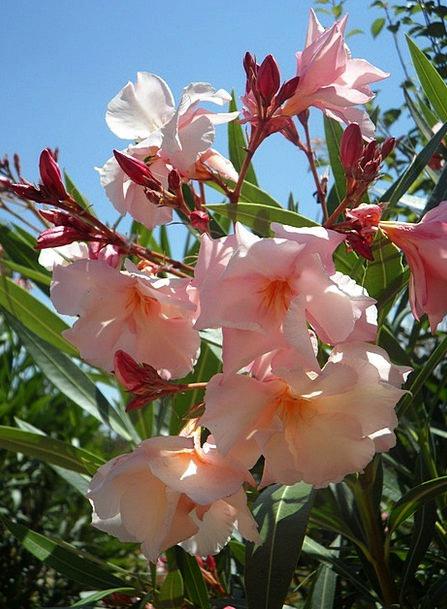 Oleander landscapes flushed nature ornamental shrub pink oleander landscapes flushed nature ornamental shru mightylinksfo