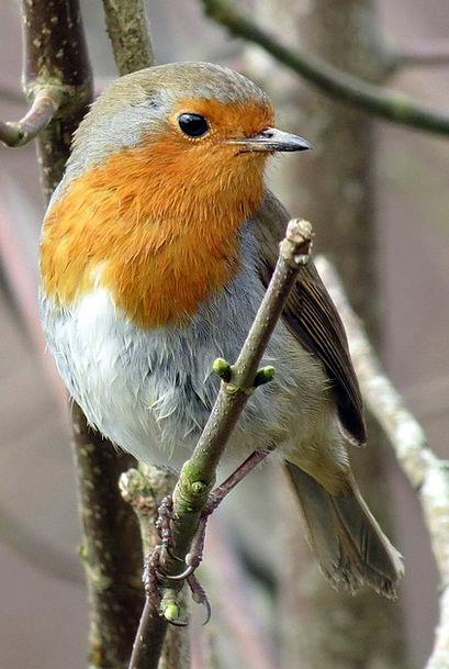 Robin Erithacus Rubecula European Robin Red Bloods