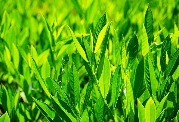 Leaves Greeneries Landscapes Lime Nature Back Ligh