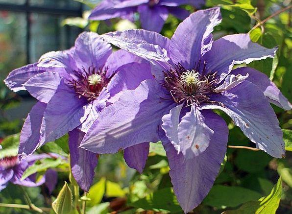 Clematis Landscapes Elaborate Nature Light Purple