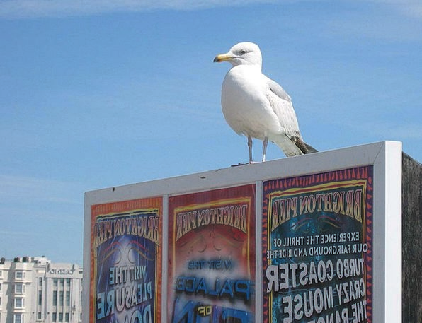 Seagull Fowl Brighton Bird Pier Dock Seaside Susse