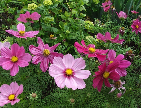 Anemone Flowers Plants Anemone Pink