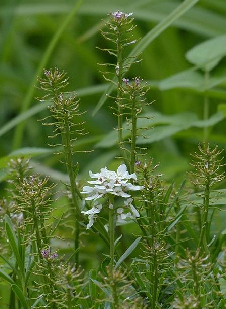 Field Hellerkraut Floret White Snowy Flower Acker