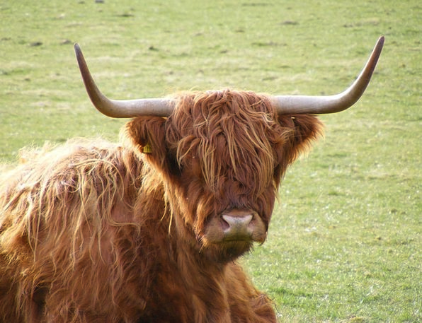 Highland Upland Intimidate Scotland Cow Resting Gr