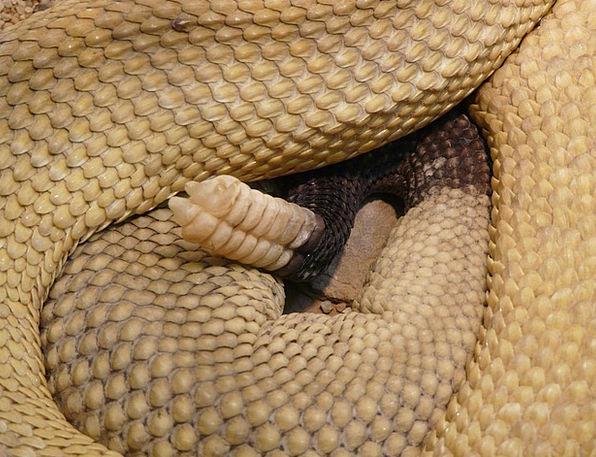 Basilisk Rattlesnake Snake Serpent Rattlesnake Ani
