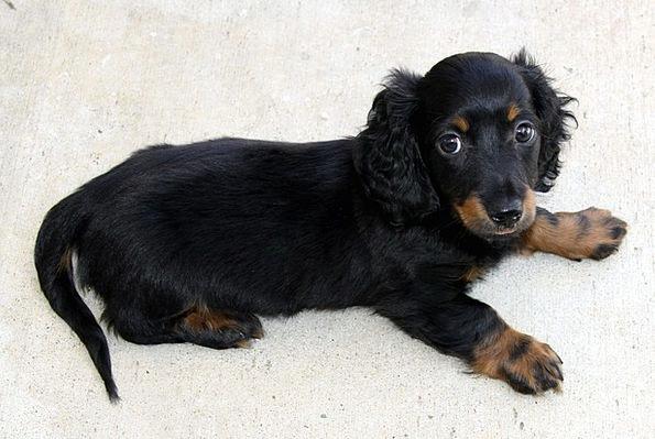Longhair Puppy Brat Dachshund Canine Mini Small Da
