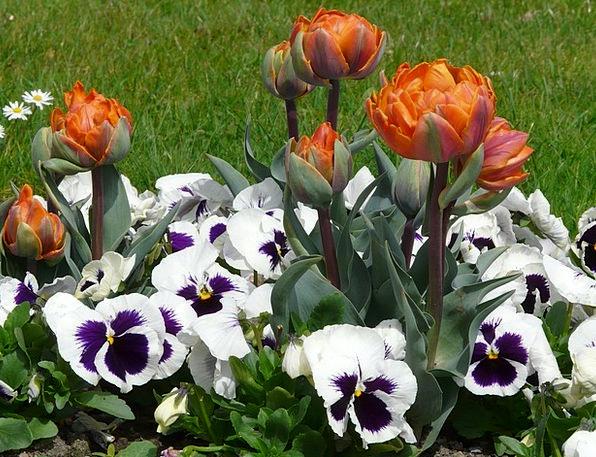 Tulips Plants Spring Coil Flowers Park Common Viol
