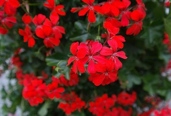 Geranium Bloodshot Flower Floret Red Pelargonium P