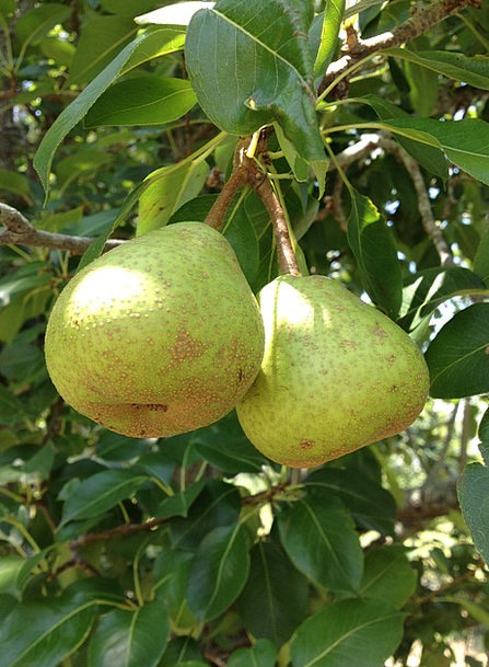 Pears Drink Ovary Food Organic Carbon-based Fruit