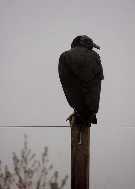 Vulture Predator Fowl Butcher Killer Bird