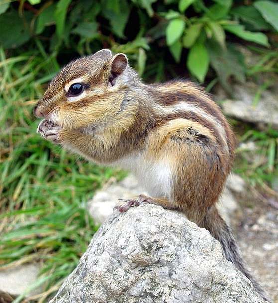 Chipmunk Collector Nager Squirrel Animal Rodent Gn