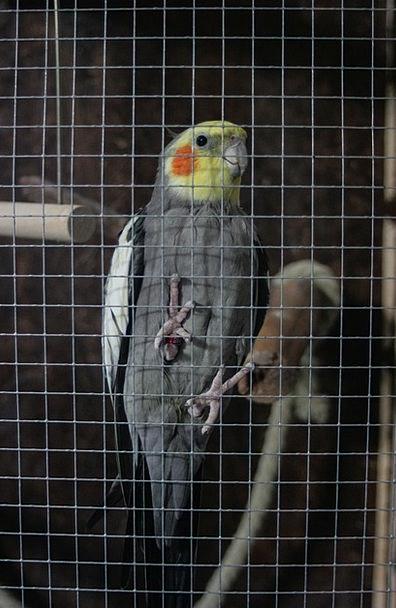 Pet Domesticated Fowl Cage Birdcage Bird Parakeet