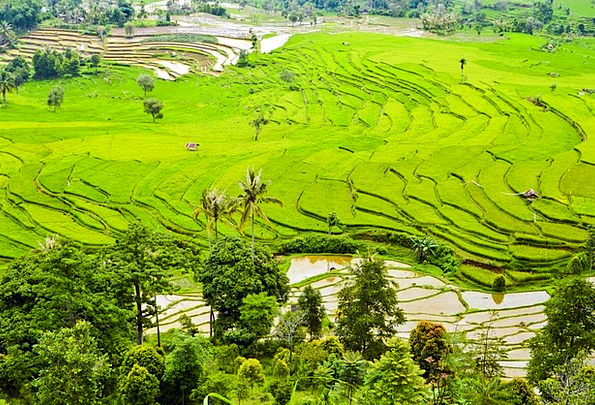 Rice Terraces Estate Fields Arenas Plantation Gree