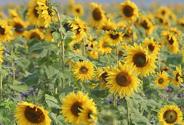 Sunflower Landscapes Nature Composites Amalgams He