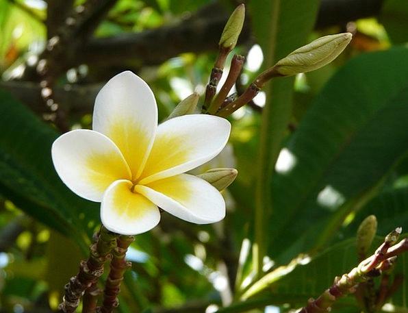 Frangipani Plumeria Mauritius Flower Floret White