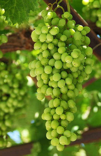 Grapes Drink Farming Food Cluster Bunch Agricultur