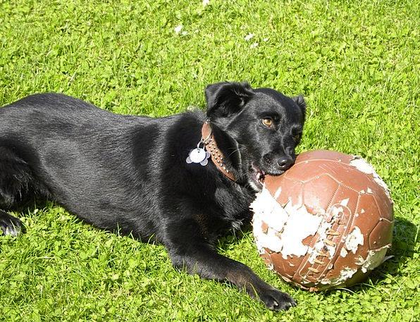 Labrador Canine Football Ball Dog Play Production