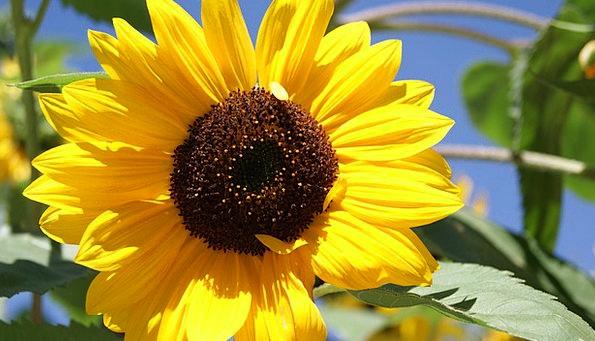 Sun Flower Landscapes Floret Nature Yellow Creamy