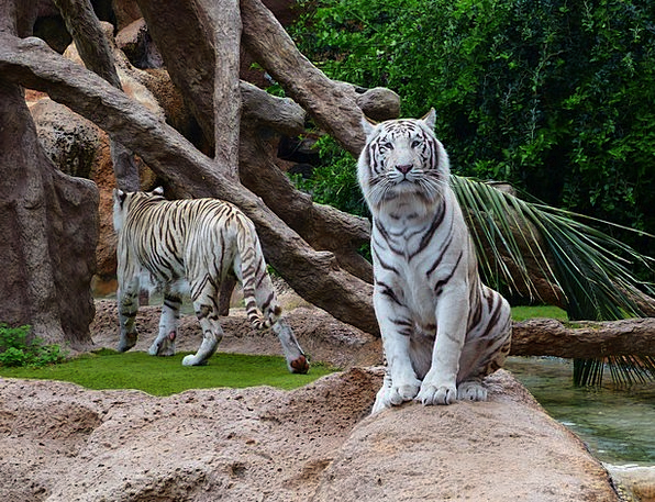 White Bengal Tiger Sit Be seated Tiger King Tiger