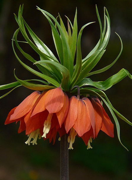 Imperial Crown Landscapes Nature Fritillaria Friti