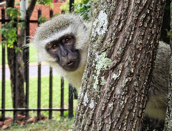 Monkey Ape Animal Physical Vervet South Africa Wil